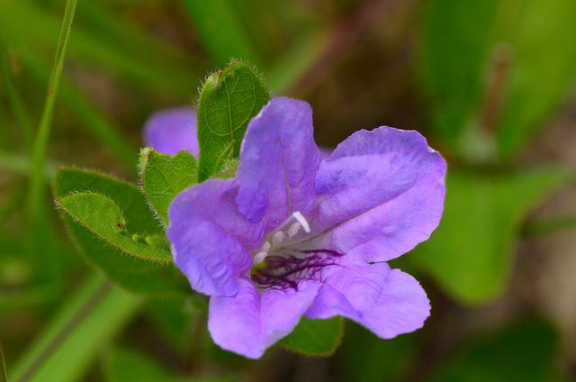 Wild Petunia  (Ruellia humilis)