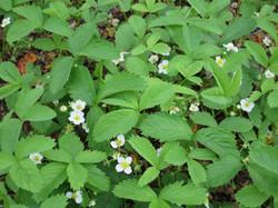 Virginia Strawberry  (F. virginiana)