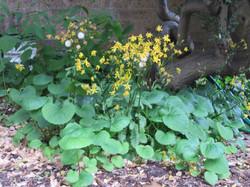 Golden Groundsel  (Senecio aureus)