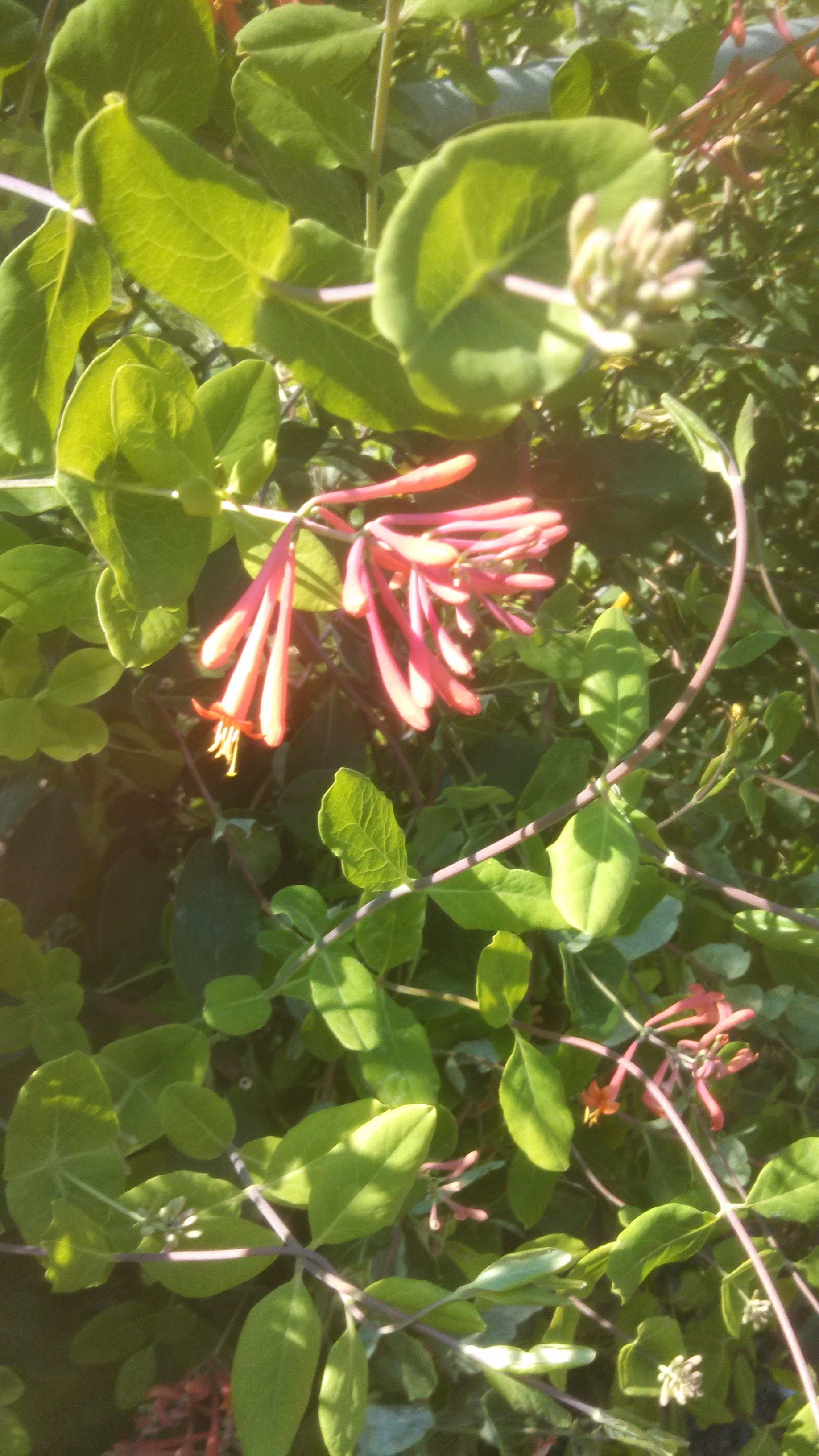 Coral Honeysuckle (L. sempervirens)