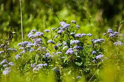 BlueMistflower
