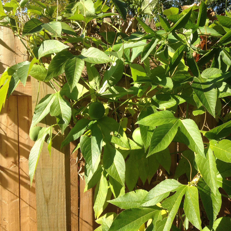 Maypops  (Pasiflora incarnata)