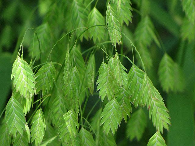 River Oats (Chasmanthium latifolium)