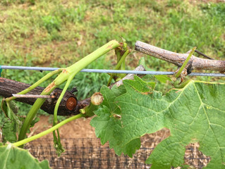 Vineyard hail damage and recovery