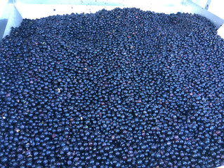 Red wine processing-whole berry tank fermentation