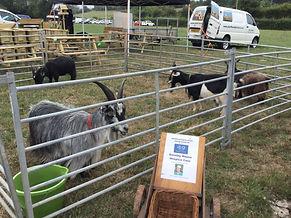Show goats.JPG