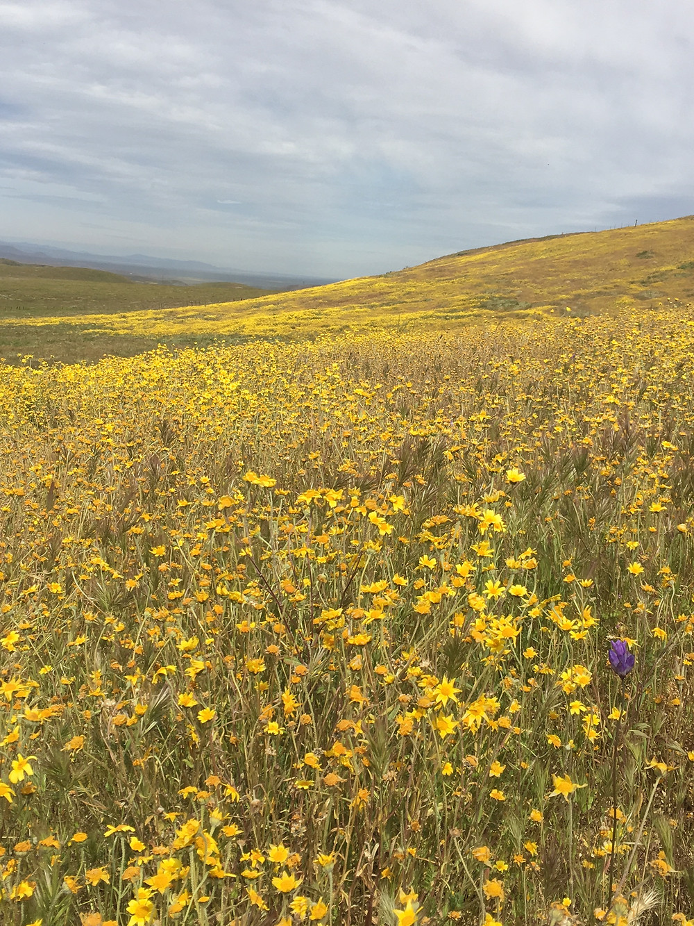 Fields of wildflowers at Carrizo Plain National Monument in Central California