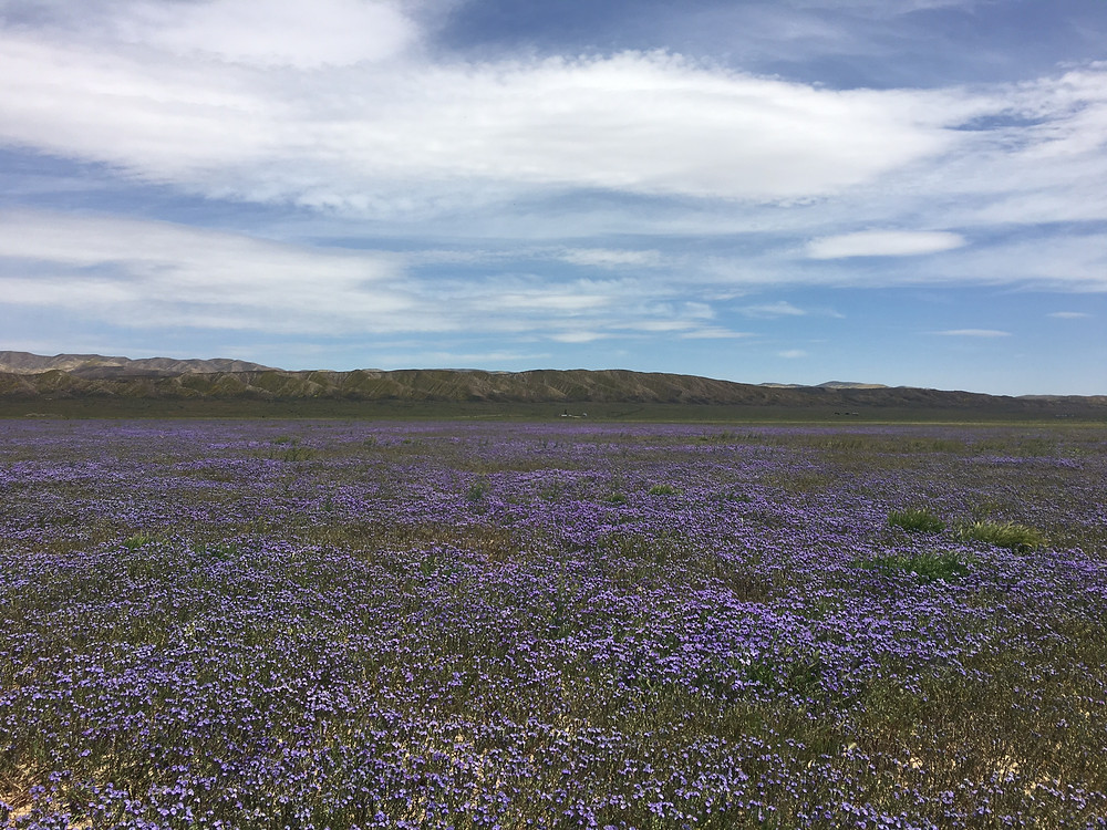 Large field of Phacelia ciliata at Carrizo Plain National Monument