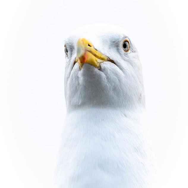 Seagull of Cornwall