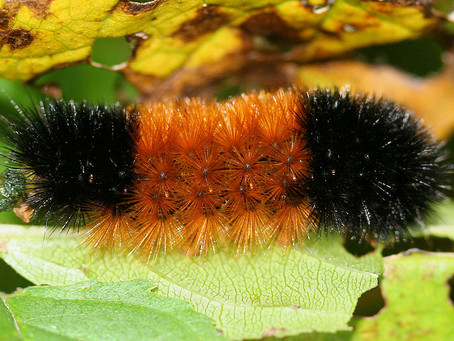 What can a caterpillar tell us about the snowmobiling season?
