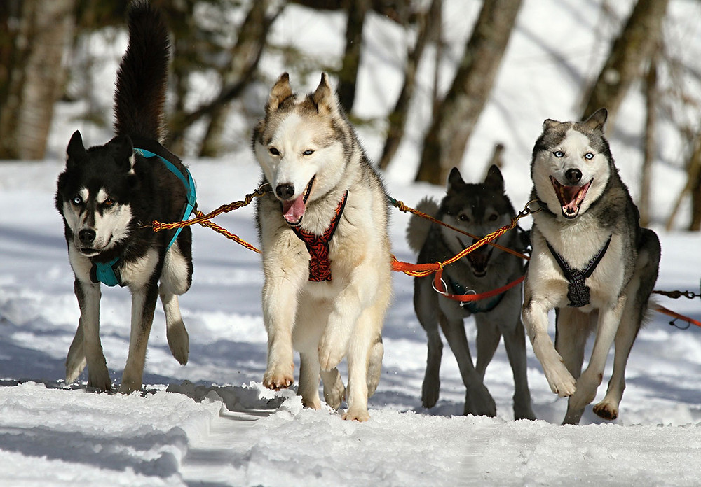 Stowe VT dog sledding tours