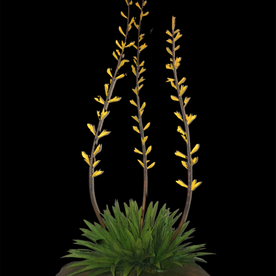 Large Triple Yellow Yucca