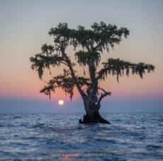 cypress tree in lake.png