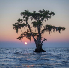 cypress tree in lake.png