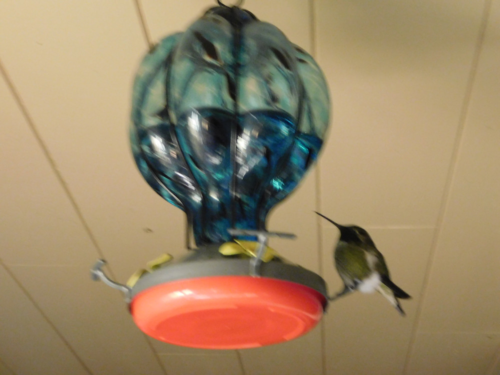 """""""Buzzy"""". Our favorite hummingbird."""