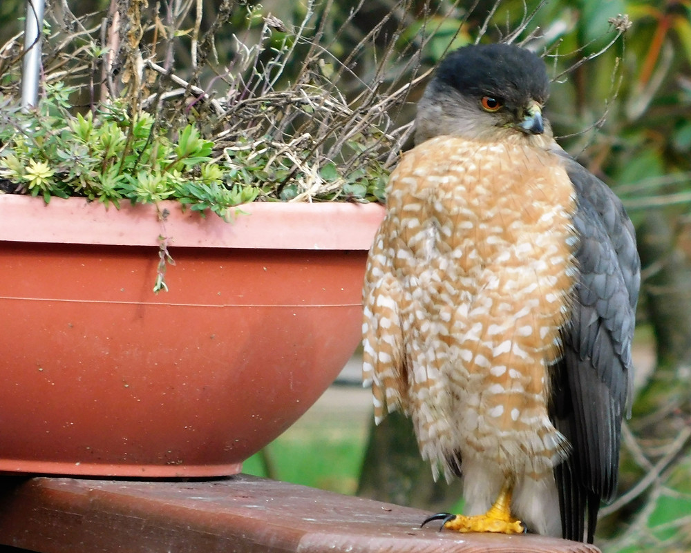 This Cooper's Hawk was a regular diner in our yard for weeks. It's great at catching birds, but I told it that it wasn't allowed to dine here. LOL!