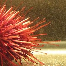 urchins side.jpg