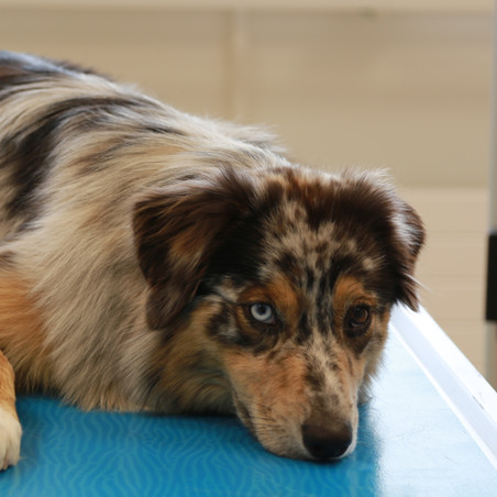 Dakota, unser Praxishund
