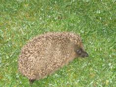 Baby hedgehog Nov 10th 2016  005.JPG