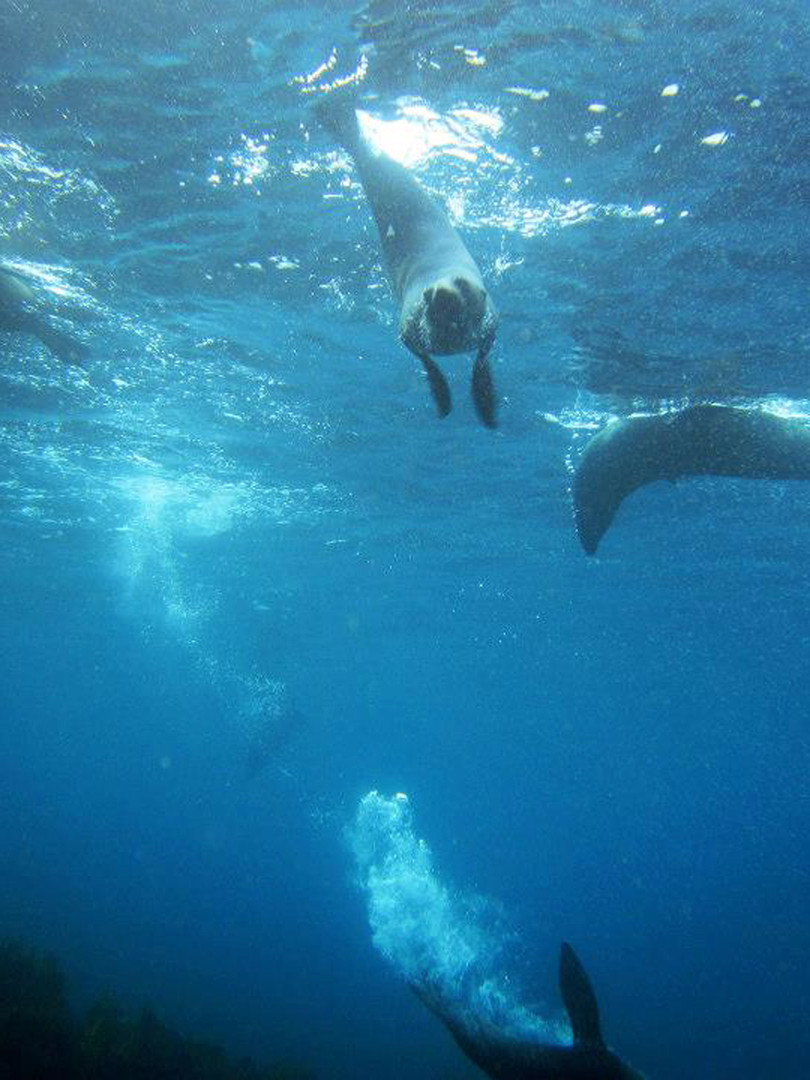 Dive-With-Seals-At-Jervis-Bay.jpg