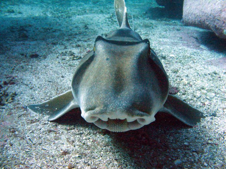 Port Jackson Shark 007 (Jervis Bay) - Co