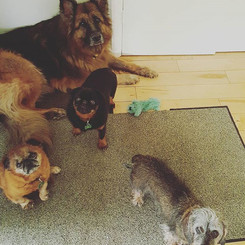 """""""Connie used to be reactive to unknown dogs, but after careful training with Laura, she has been able to make friends with several dogs."""" Out on walks, she will choose to ignore strange dogs and play with us instead."""