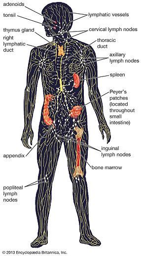 lymph-over-organs.jpg