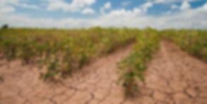 soybean drought.jpg