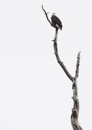 Bald Eagle in the Fall