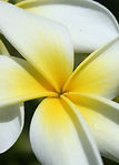 Gratitude, Frangipani, Be Grateful, Thank you, Poetry, Blood Transfusion