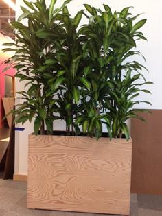 FB planter box Dracaena massangeana.JPG