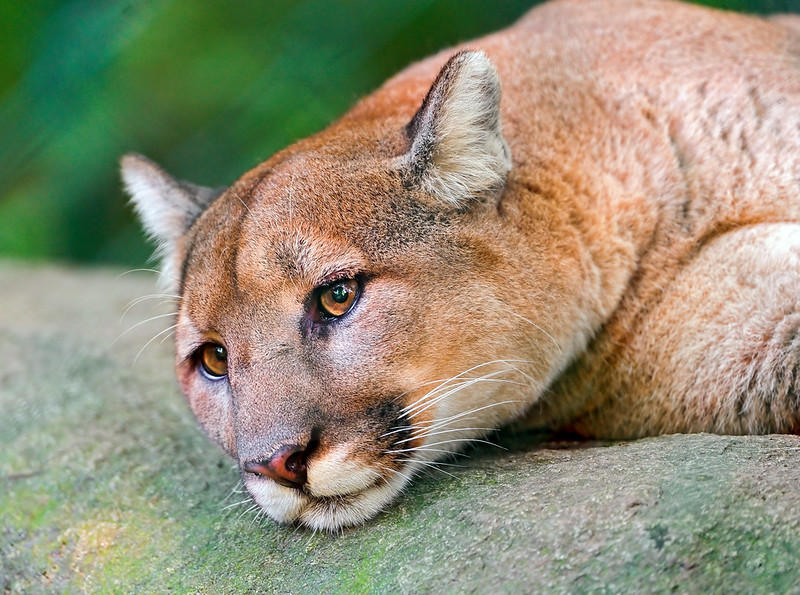 a puma looking depressed laying on a tree