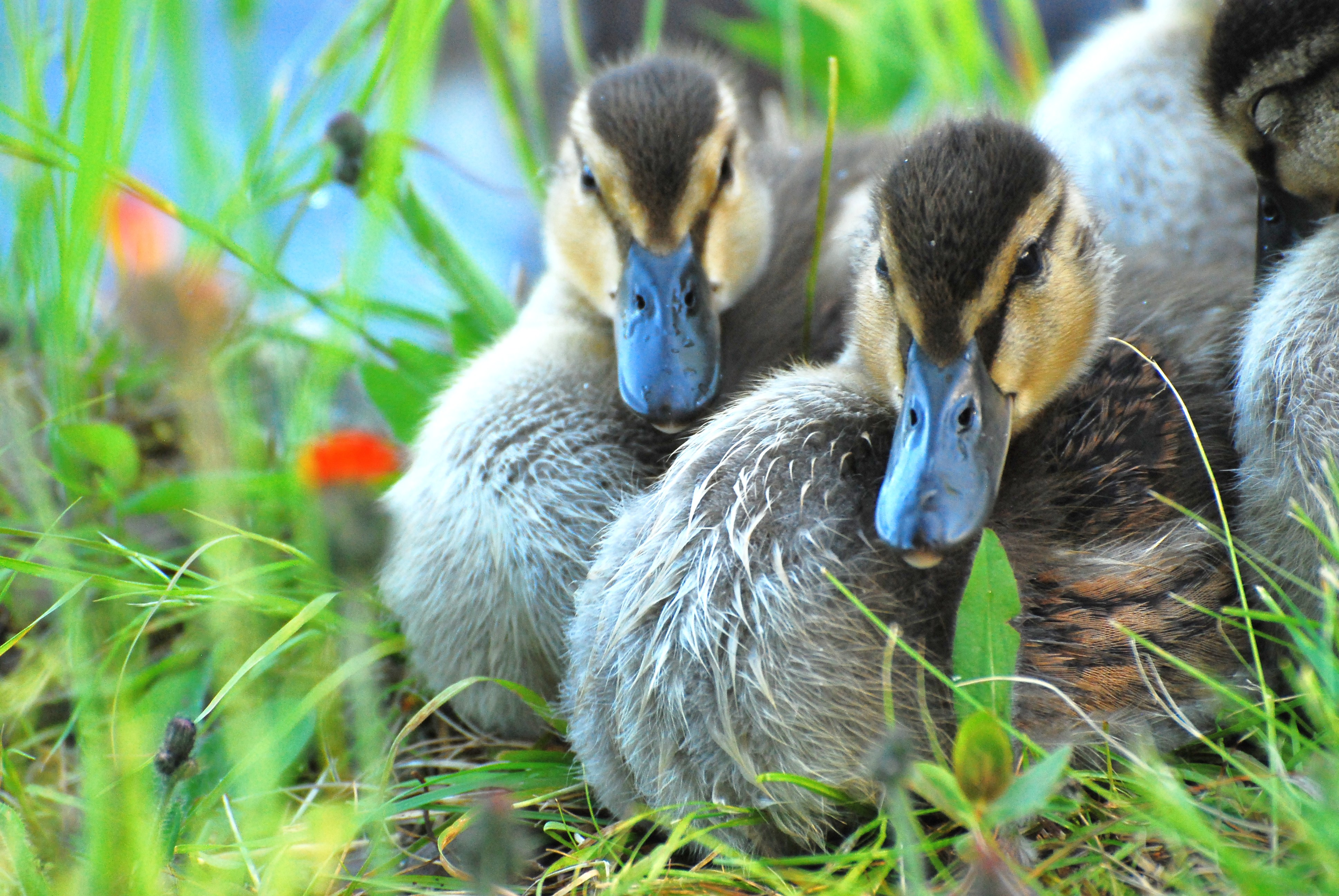 Duck siblings