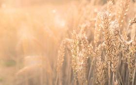 chmaps de blé offre massage