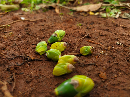 Tender Areca Nut