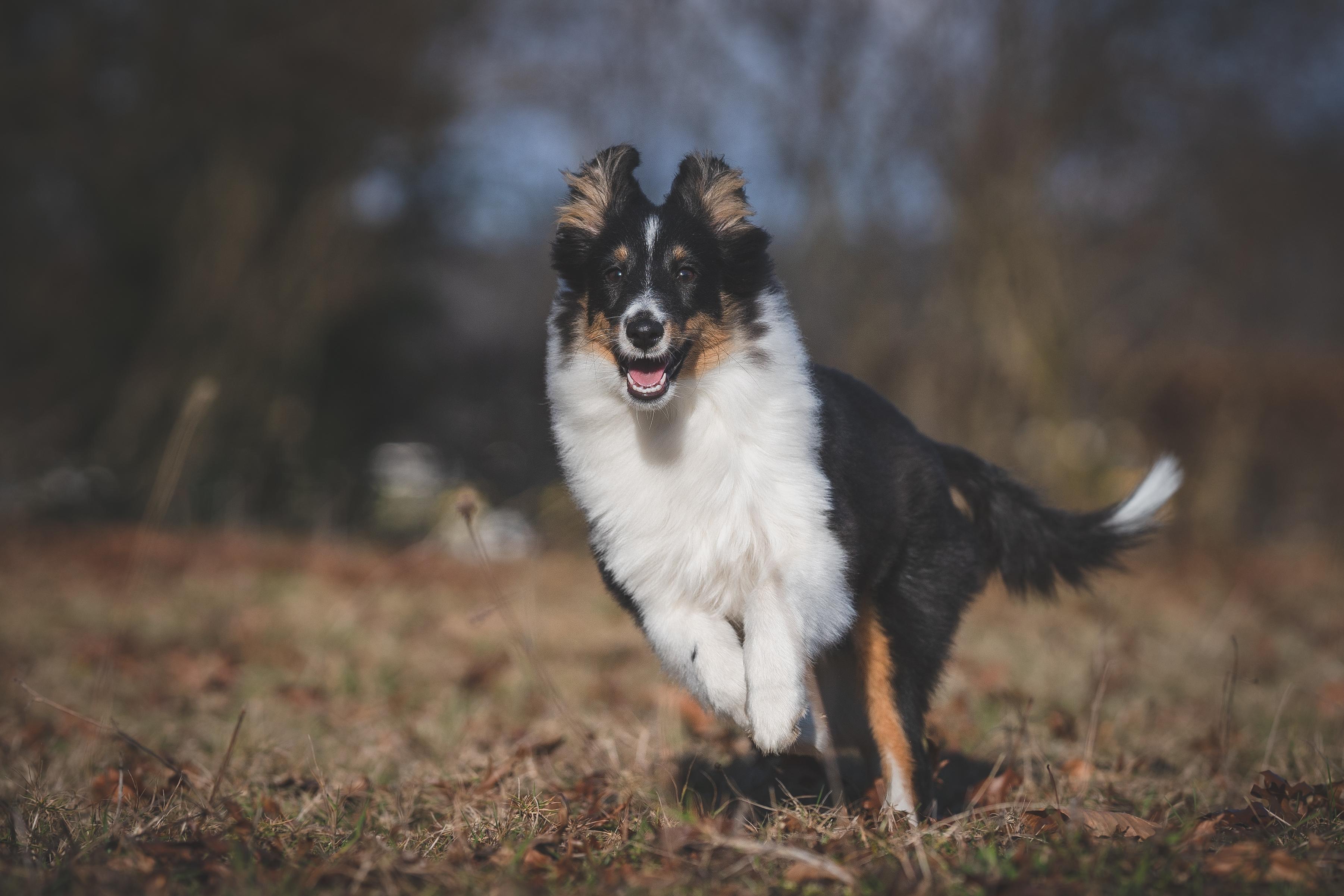 Junghund Sheltie