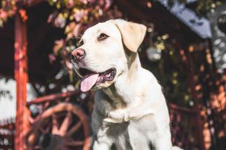Labrador Dog Training in CT