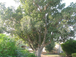אחד מעצי השקמה