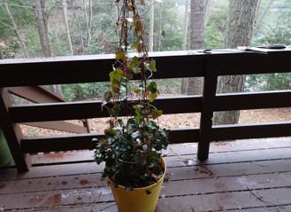 Ivy Topiary