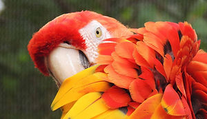Red and yellow parrot_edited.jpg