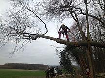 Ash Tree Dismantling