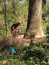 Large Oak Tree Felling