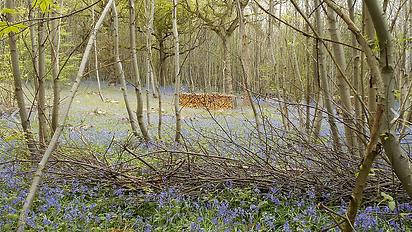 Woodland Bluebells.png