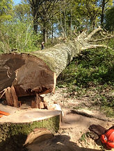 Oak Tree Felling Ready for Milling