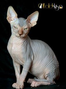 Cleo Blue tabby sphynx