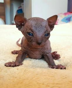 sphynx_black_kitten3