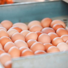 Rolling eggs on the conveyor
