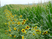 Sunflowers and Corn in the Lehigh Valley