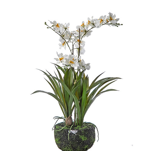 Oncidium plantX 4 white 50cm