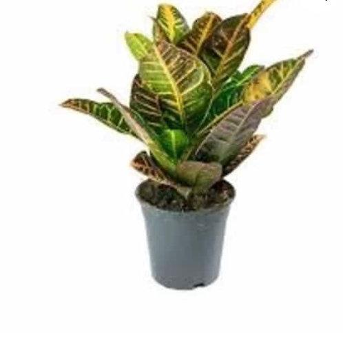 Croton petra 40cm